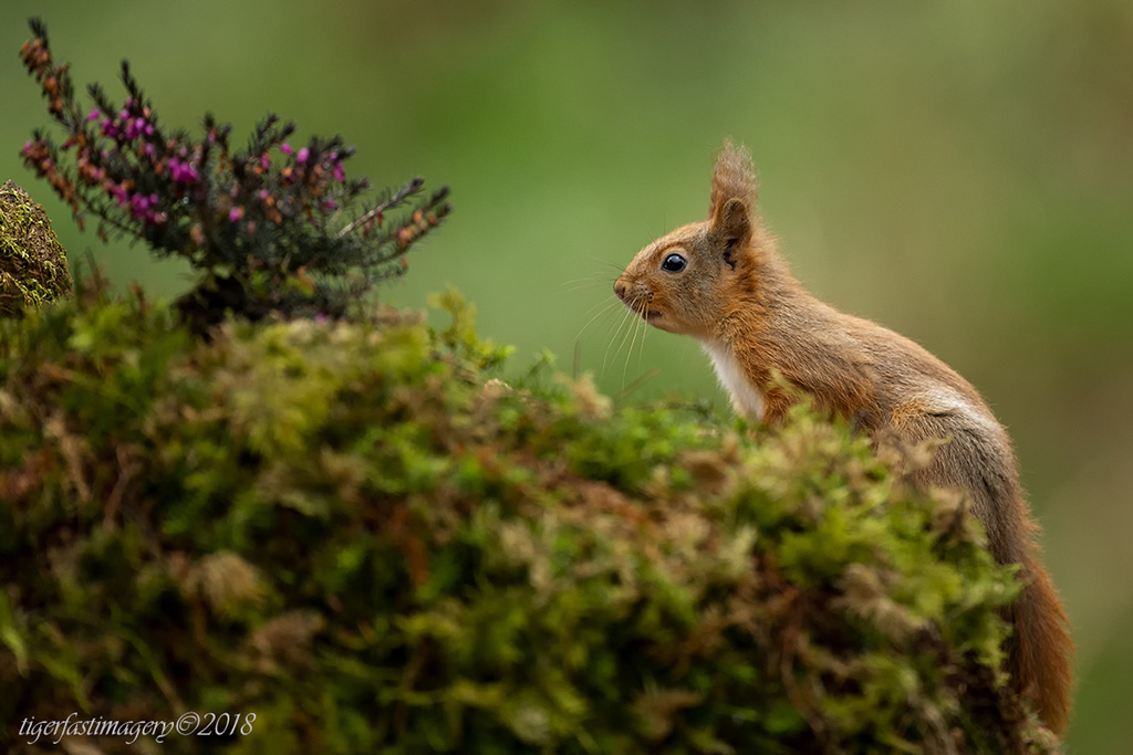 redsquirrel/1XRF9258.jpg